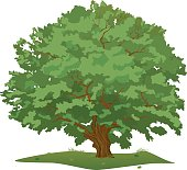 Large Green and Spreading Oak Tree, with Dense Crown, Colored Vector Illustration, isolated on white background.