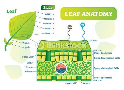 Diagrama De Hoja Anatomía Vector Ilustración Cartel De Esquema Macro ...