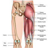 leg back muscles 3d medical vector illustration on white background eps 10
