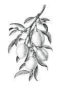 Lemon branch illustration black and white vintage clip art isolate on white background