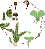 Life Cycle of Fern. Plant life cycle with alternation of diploid sporophytic and haploid gametophytic phases
