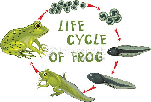 life cycle of frog stock vector thinkstock. Black Bedroom Furniture Sets. Home Design Ideas