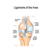 Ligaments of the knee. Anterior and Posterior cruciate ligaments, Patellar and Quadriceps,  tendons, Medial and Lateral collateral ligaments. joint anatomy. Vector illustration for biological, medical