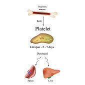 Limbo platelets in the bone marrow. Dieback of platelets in the spleen, the liver. The life of the platelet. Infographics. Vector illustration on isolated background.