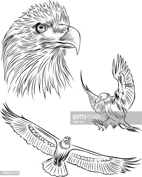 Line Art Eagle : Sea eagle stock illustrations and cartoons getty images
