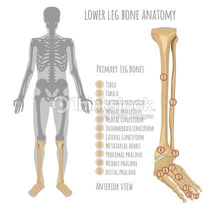 Anatomía De Hueso De La Pierna Inferior Arte vectorial | Thinkstock