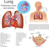 The lungs are the primary organs of respiration in humans and many other animals including a few fish and some snails. In mammals and most other vertebrates, two lungs are located near the backbone on
