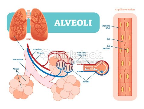 Lungs alveoli schematic anatomical vector illustration diagram with lungs alveoli schematic anatomical vector illustration diagram with capillary network arte vetorial ccuart Choice Image