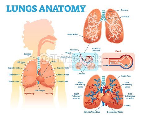 Lunge Anatomie Medizinische Illustration Zeigerdiagramm Set Mit ...