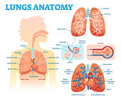 Lungs anatomy medical vector illustration diagram set with lung lobes, bronchi and alveoli.