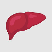 lustration of healthy liver, human body, health medicine, body study, science biology, flat style, vector image