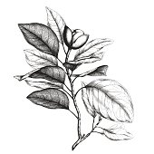 Ancient style engraving or etching of magnolia talauma
