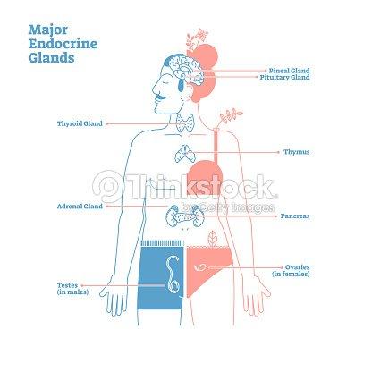 Las Glándulas Endocrinas Principales Vector Ilustración Diagrama ...