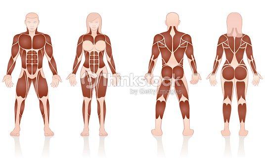 Männliche Und Weibliche Muskeln Große Muskelgruppen Von Männern Und ...