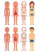 Male and female skeleton, digestive and nervous systems isolated on white. Vector illustration