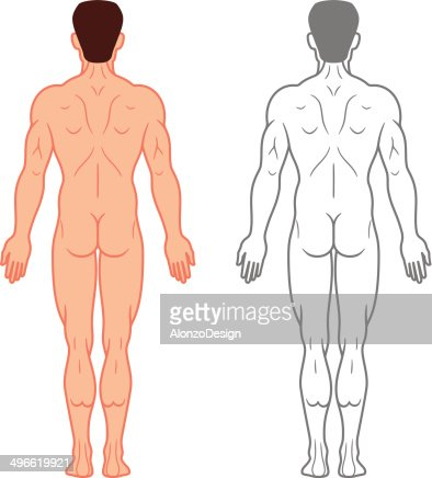 human body muscles vector art | getty images, Muscles