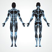 Male muscular anatomy vector scheme - posterior and anterior view. Fitness training, muscles street workout.