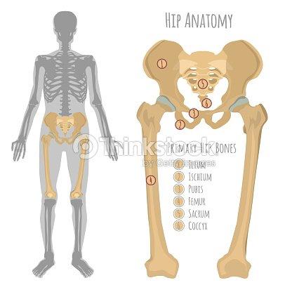 Anatomía Del Hueso De La Cadera Masculina Arte vectorial | Thinkstock