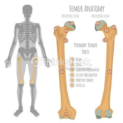 Anatomie Des Männlichen Hüftknochen Vektorgrafik | Thinkstock