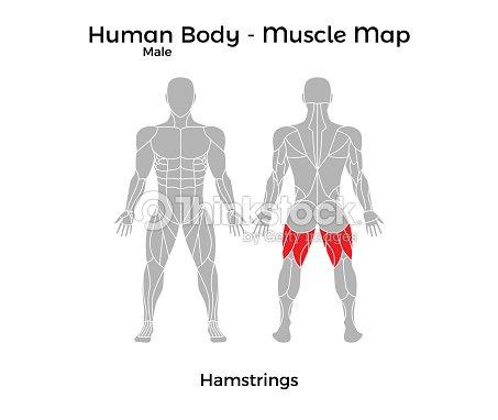 Cuerpo Humano Masculino Mapa De Músculo Tendones De La Corva Arte ...