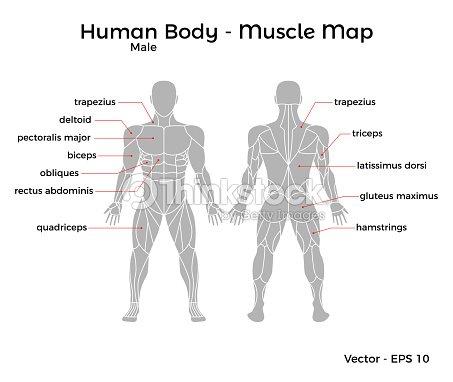 Mapa De Músculo De Cuerpo Humano Masculino Arte vectorial | Thinkstock