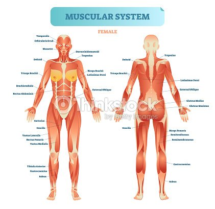 Male muscular system full anatomical body diagram with muscle scheme male muscular system full anatomical body diagram with muscle scheme vector illustration educational poster ccuart Images