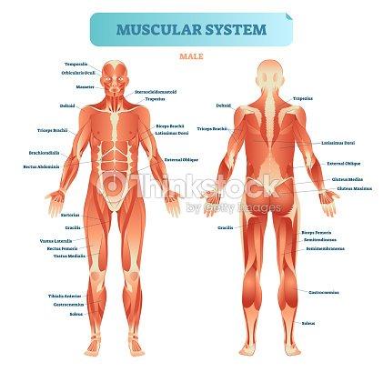 Männliche Muskulatur Allen Anatomischen Körpers Diagramm Mit ...