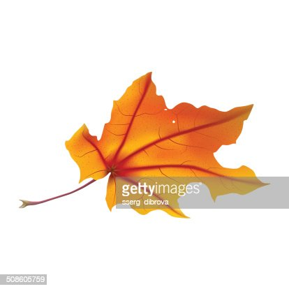 Maple leaf : Vector Art