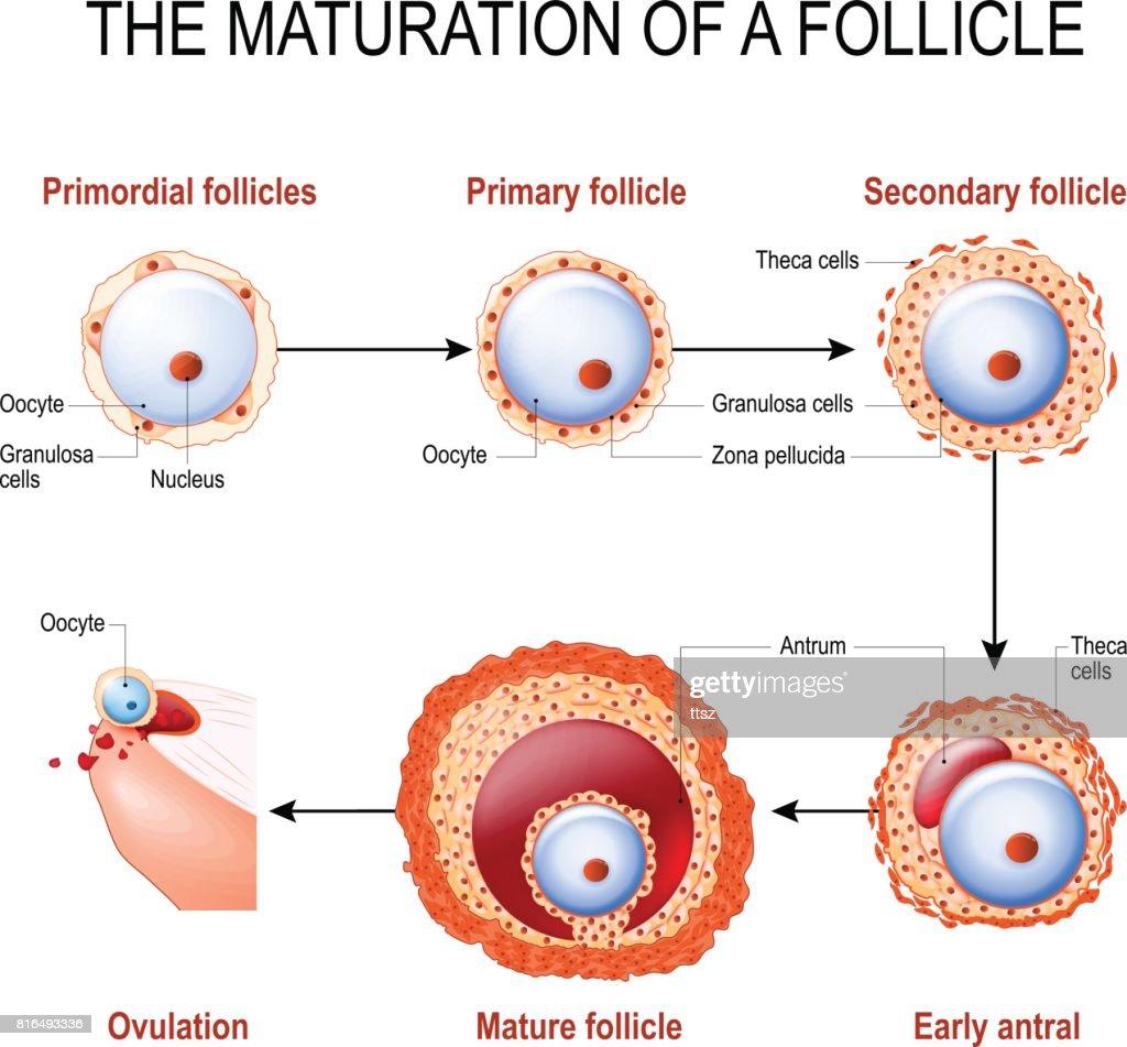 maturation of a follicle stock vector thinkstock rh thinkstockphotos co uk