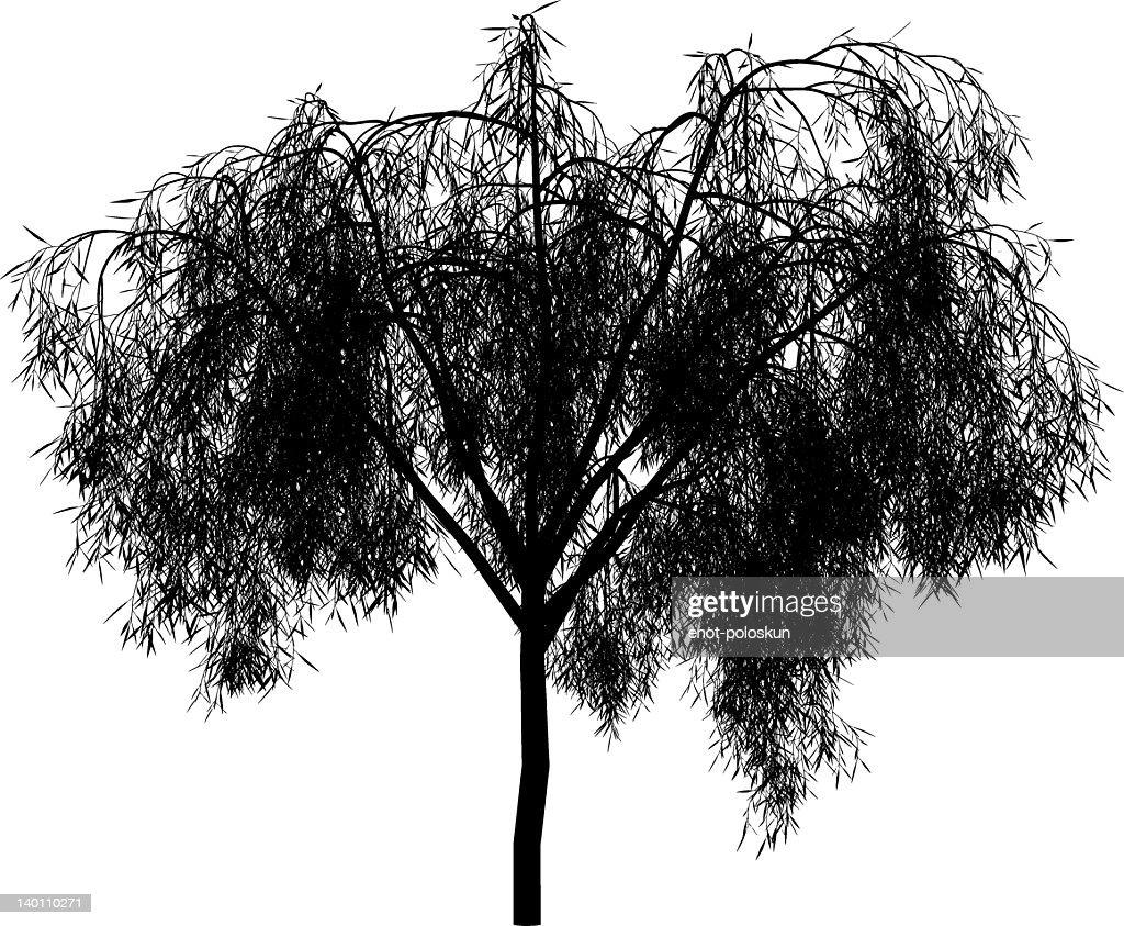 Maytenus boaria : Vector Art