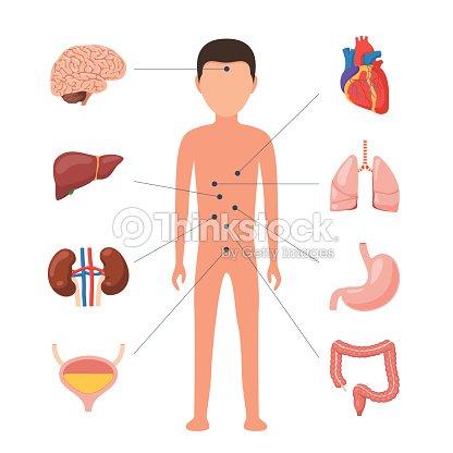 Órganos Humanos Médicos Diagrama Arte vectorial | Thinkstock