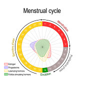Menstrual cycle and hormone level. Ovarian cycle: follicular and luteal phase. Bleeding period and ovulation. Circular flow chart. Vector diagram