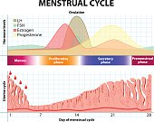 Menstrual cycle. Menstruation, Follicle phase, Ovulation and Corpus luteum phase. endometrium and hormone