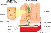 Structure of Villi and microvilli showing arteries, veins, nerve and lymph vessel.