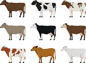 Nine Milk Cows Different Breeds in Flat style standing on a white background
