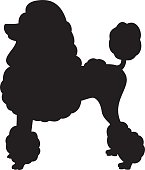 Vector silhouette of a Miniature Poodle with continental clip