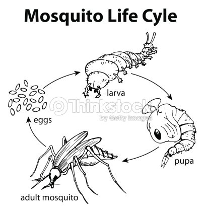 Mosquito Life Cycle Vector Art Thinkstock