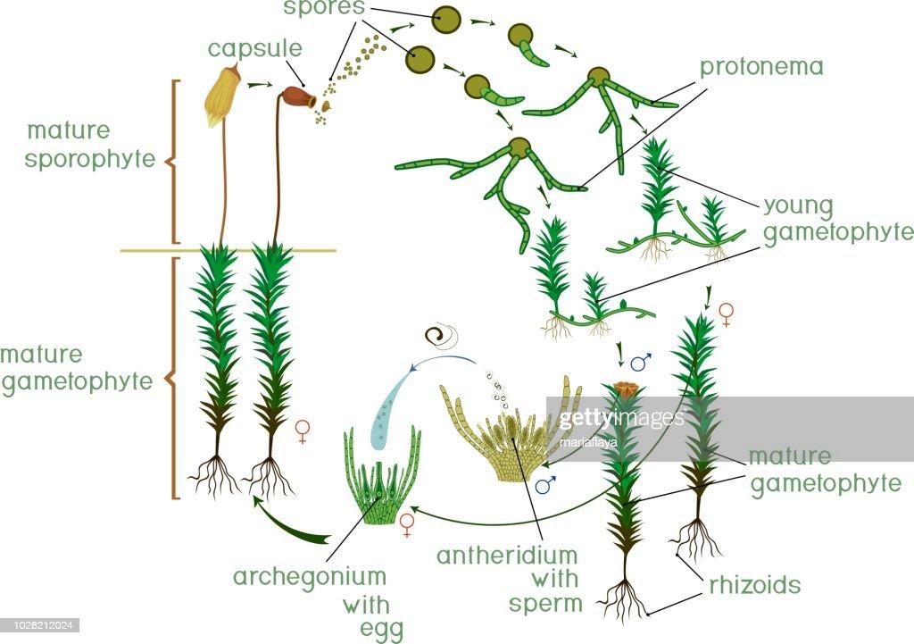 moss rhizoid diagram wiring diagram online Moss Plant Diagram moss rhizoid diagram wiring diagrams lose moss protonema vs rhizoid moss rhizoid diagram
