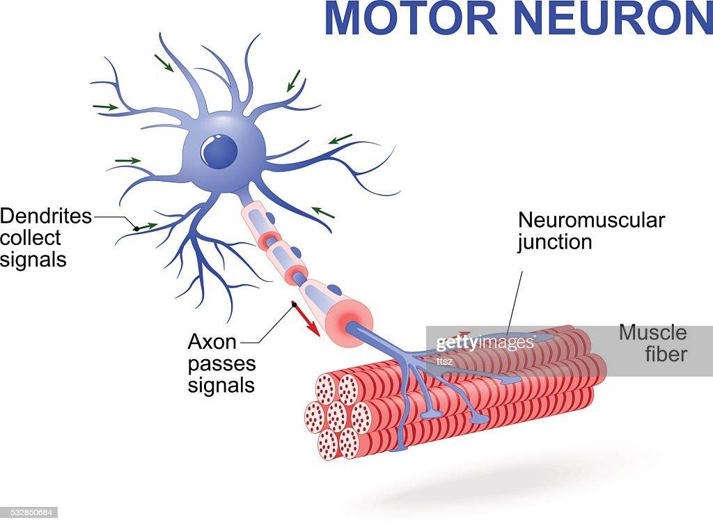 motor neuron vector diagram vector id532850684?s\=170667a\&w\=1007 motor neuron diagram 3 types of neurons \u2022 wiring diagram database astak cm 818t wiring diagram at soozxer.org