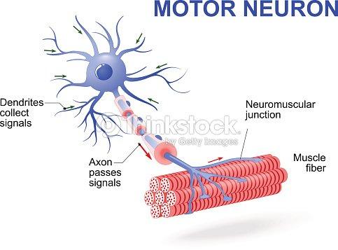 Motor neuron vector diagram vector art thinkstock motor neuron vector diagram vector art ccuart Gallery
