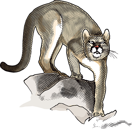 Mountain Lion Illustration