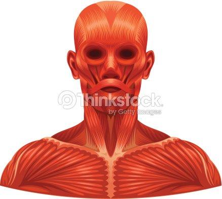 Muskeln Gesicht Vektorgrafik | Thinkstock