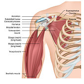 Muscles of shoulder and arm 3d medical vector illustration on white background eps 10