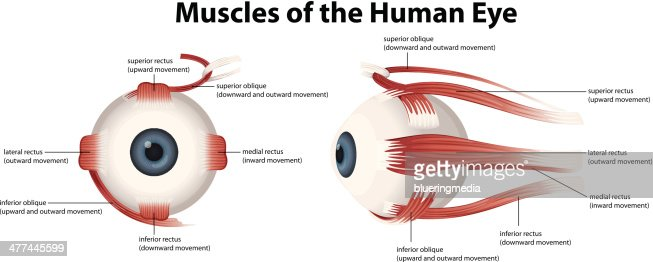 muscles of the human eye vector art | thinkstock, Muscles