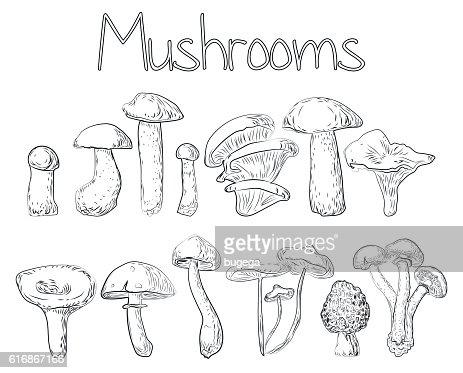 Mushrooms beautiful forest edible oyster chanterelle cap boletus vector illustration : Vector Art