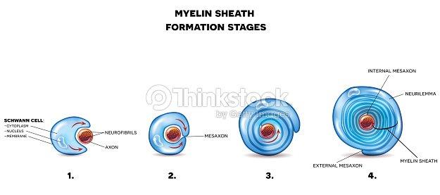 Myelin sheath of the neuron vector art thinkstock myelin sheath of the neuron vector art ccuart Gallery