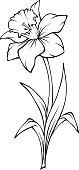 Narcissus flower isolated on white. Vector black and white line art illustration.
