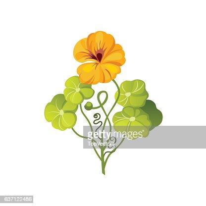 Nasturtium Wild Flower Hand Drawn Detailed Illustration : stock vector