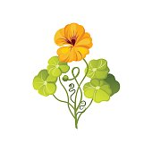 Nasturtium Wild Flower Hand Drawn Detailed Illustration. Plant Realistic Artistic Drawing Isolated On White Background.