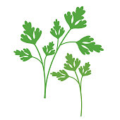 Nature organic vegetable Parsley, healthy vector colorful food vegetable spice ingredient.